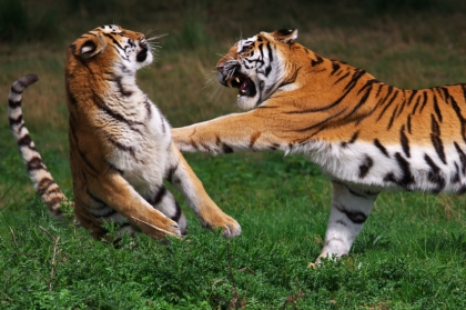 Boxing Siberian Tiger